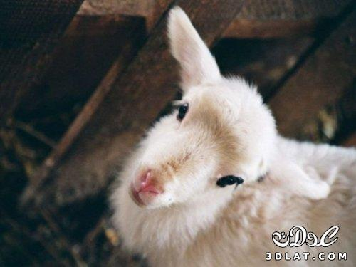 صور خرفان بمناسبة عيد الاضحي Sheep خروف العيد 131903664517.jpg