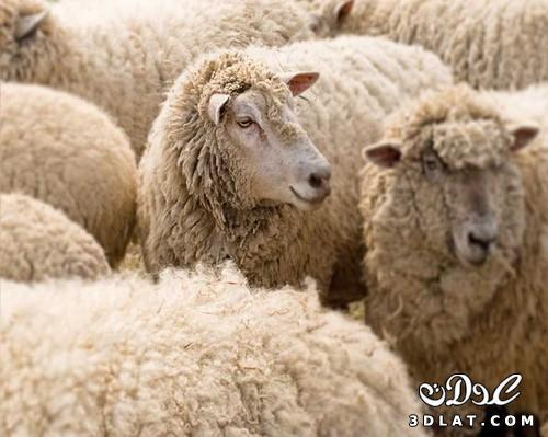 صور خرفان بمناسبة عيد الاضحي Sheep خروف العيد 13190366456.jpg