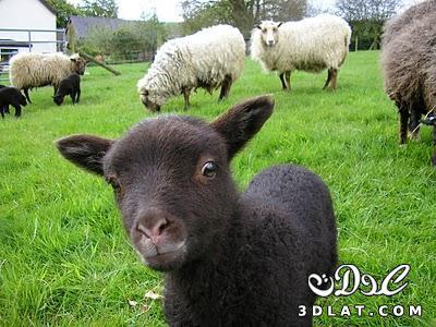 صور خرفان بمناسبة عيد الاضحي Sheep خروف العيد 13190366457.jpg