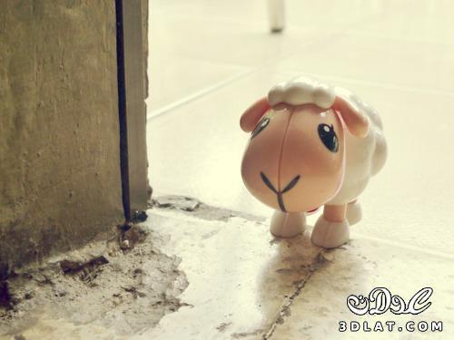 صور خرفان بمناسبة عيد الاضحي Sheep خروف العيد 13190366458.jpg