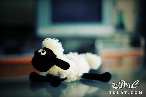 صور خرفان بمناسبة عيد الاضحي Sheep خروف العيد 13190366459.jpg