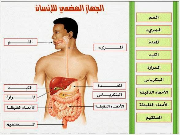 صورة الكبد في جسم الانسان