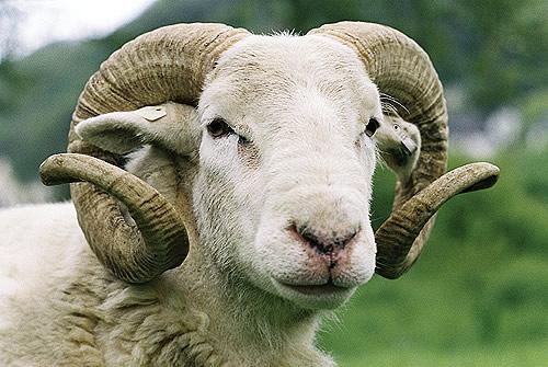 صوره رؤية خروف في المنام , مشاهدة الخراف بالحلم