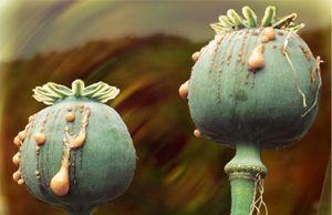 صور ما هو نبات الخشخاش