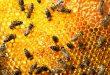 بالصور معلومات عن خلية النحل , معلومات مهمه عن النحل 36c3b5c2c291b5f9f63f486bccf026ec 110x75