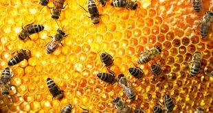 معلومات عن خلية النحل , معلومات مهمه عن النحل