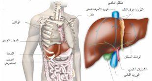 صورة للكبد داخل الجسم