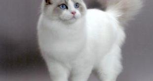 صور انواع القطط الشيرازى