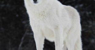 الذئب الابيض بالصور
