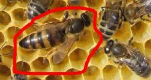 مملكة النحل و مهامهم