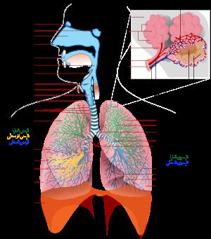 مقال علمي عن الجهاز التنفسي