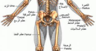 كم عدد العظام الموجودة في جسم النسان
