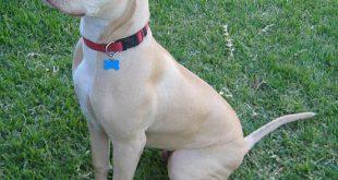 صوره صور كلاب بيتبول