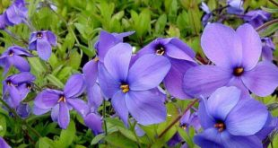 صور زهرة البنفسج ، احلي صور لزهرة البنفسج