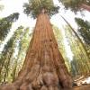 كم يبلغ طول اكبر شجرة في العالم