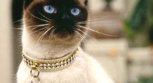 صورة اغلى انواع القطط