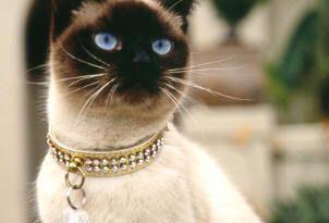 صور اغلى انواع القطط