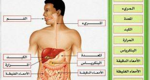 الكبد في جسم الانسان