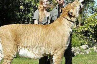 بالصور ضخم حيوان في العالم b02000b9dab632caf1de8ca342b3de83 310x205