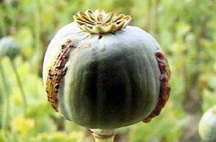صور ماهو نبات الخشخاش