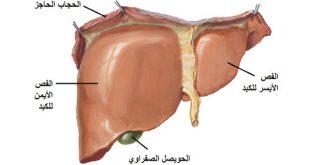 موقع الكبد في جسم الانسان