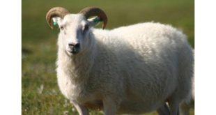 صورة خروف في المنام , ما تفسيره وعلي اى شيء يدل
