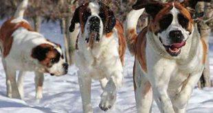 اشرس كلاب العالم بالترتيب
