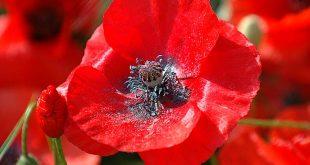 صور فوائد زهرة الخشخاش