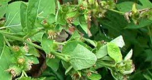 صورة اعشاب لعلاج السكري