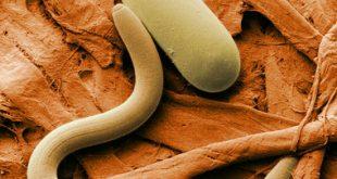 صور دواء طارد الديدان
