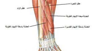 كم عضلات جسم الانسان، عضلات الجسم