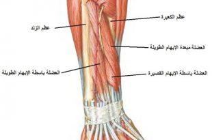 صوره كم عضلات جسم الانسان، عضلات الجسم