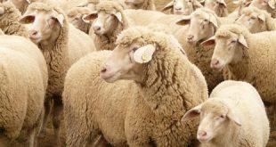 صور الماعز في المنام