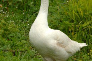 بالصور اول طير اليف goose 310x205
