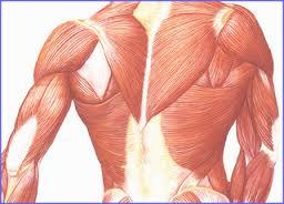 كم عدد العضلات فى الجسم