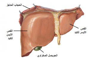 صور وظيفة الكبد في جسم الانسان