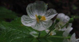 بالصور لقطات رائعة ازهار شفافة