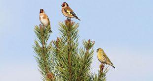 صور صور طائر الحسون