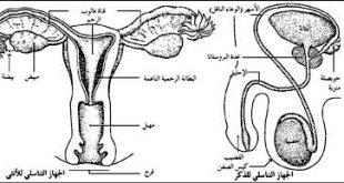 صورة مراحل الاخصاب عند المراة