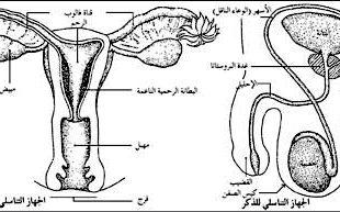 صور مراحل الاخصاب عند المراة