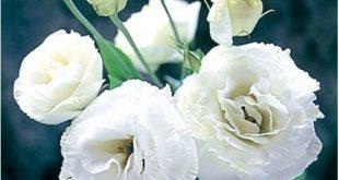 صوره صور زهور بيضاء