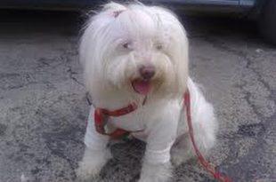 صوره كلاب لولو للبيع في مصر