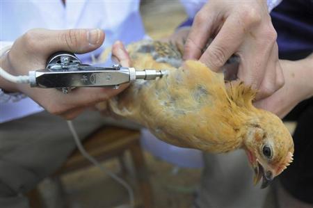 صور حقيقة حقن الدجاج بمادة الاسترويدس