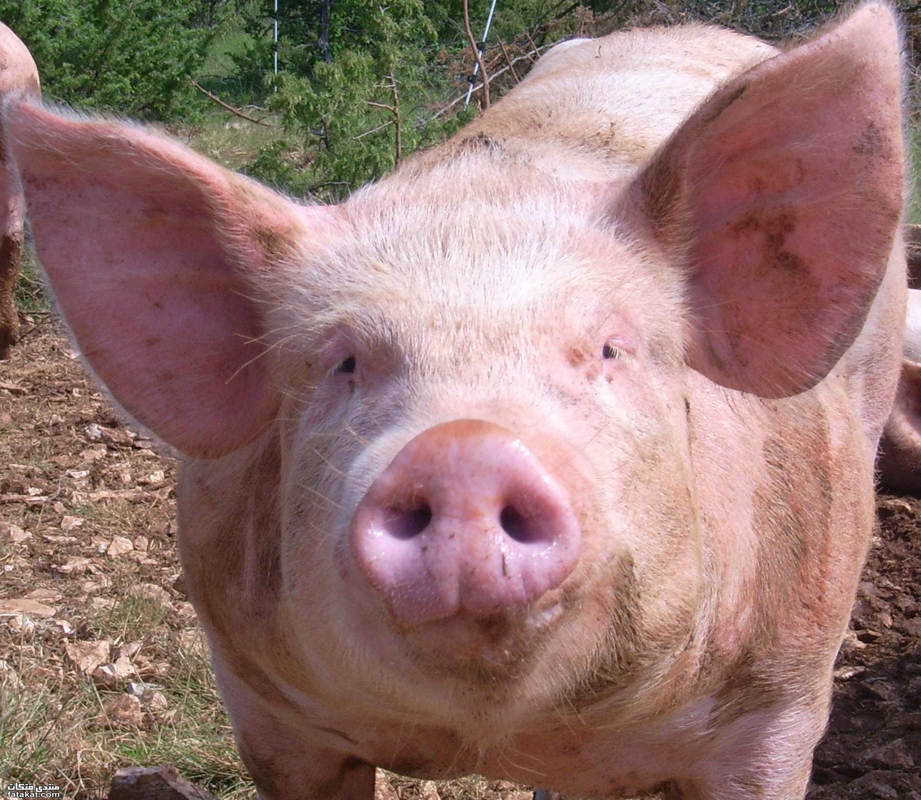 - Tete de cochon a colorier ...