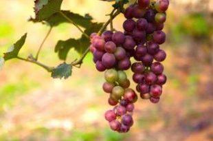 صور عصير العنب الاحمر