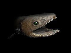 صورة القرش المزركش , معلومات و صور