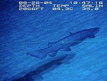 بالصور القرش المزركش , معلومات و صور 20160822 298