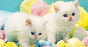 طرق شیراز , انواع القطط الشيراز