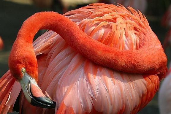 صور طائر الفلامينغو