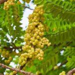 صور فوائد ومضار نبات الكركديه